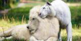 Ένα λευκό λιοντάρι άφησε έγκυο μια κάτασπρη τίγρη. Απλά δείτε τα μωρά τους!