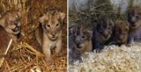 Ζωολογικός κήπος θανάτωσε 9 υγιέστατα λιονταράκια γιατί θα μεγάλωναν πολύ