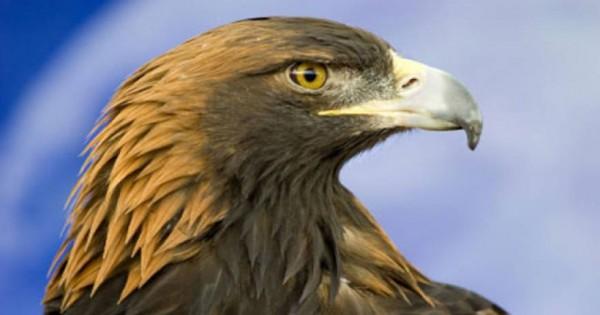 Εντυπωσιακό βίντεο: Αετός κυνηγάει αγριοκάτσικα ρίχνοντάς τα στο γκρεμό