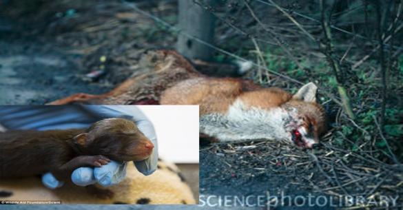 Έγκυος αλεπού σκοτώθηκε από αμάξι αλλά τα μωρά της έζησαν – Δείτε τα πανέμορφα πλασματάκια (εικόνες)