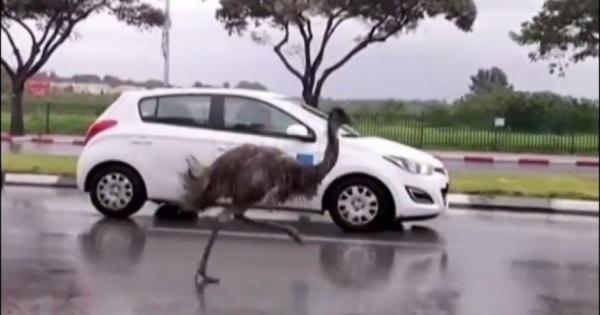 »Κόντρες» με αυτοκίνητα κάνει μια στρουθοκάμηλος [βίντεο]