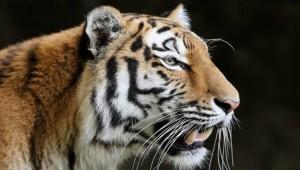 Τίγρης άλμα