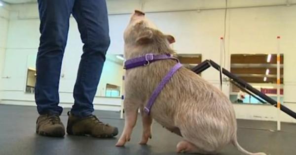 Άλλοι εκπαιδεύουν σκυλιά, άλλοι… γουρούνια! (video)