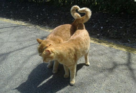 ζευγάρωμα γάτες