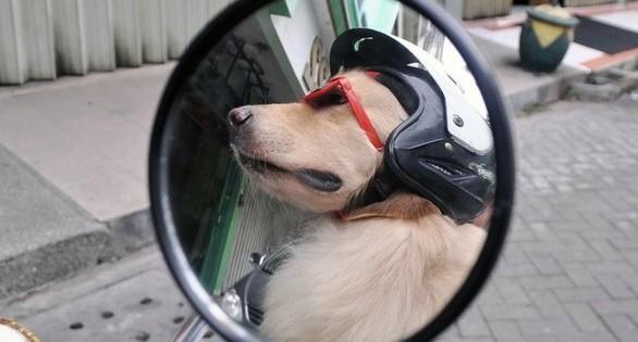 Ο σκύλος από την Ινδονησία που λατρεύει τις μηχανές (pics)