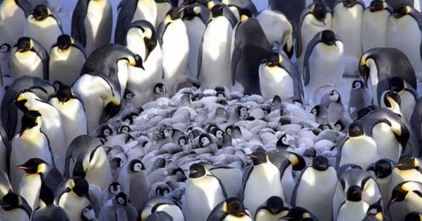 Τρυφερές εικόνες από πιγκουίνους που ζεσταίνουν τα μωράκια τους!