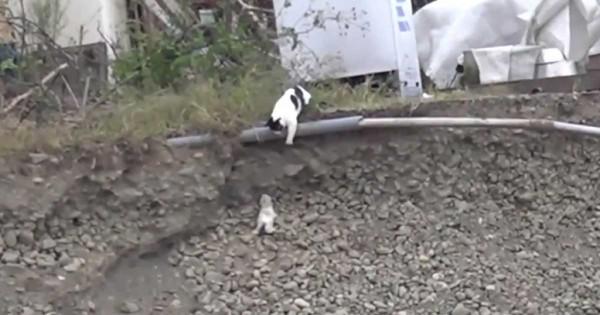 Μια γάτα είδε το γατάκι να πέφτει από ένα ύψωμα. Αυτό που έκανε; Συγκλονιστικό! (βίντεο)