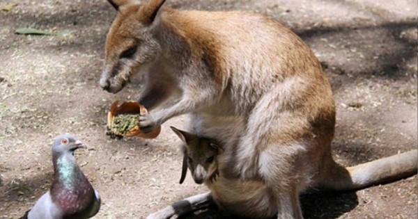 Όμορφη στιγμή: Καγκουρό μοιράζεται το γεύμα του με ένα περιστέρι (εικόνες)