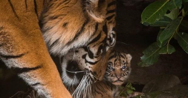 Δείτε 3 νεογέννητα τιγράκια μόλις βγαίνουν από τη φωλιά τους!