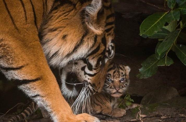 Τίγρης τιγράκια νεογέννητα
