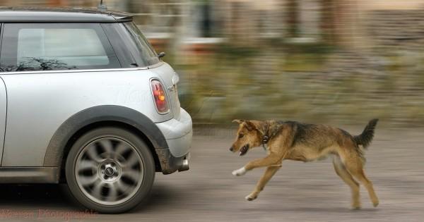 Γιατί ορισμένοι σκύλοι κυνηγούν αυτοκίνητα;