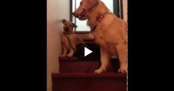 Βλέπε να μαθαίνεις: Σκύλος μαθαίνει σε κουτάβι να κατεβαίνει τις σκάλες!