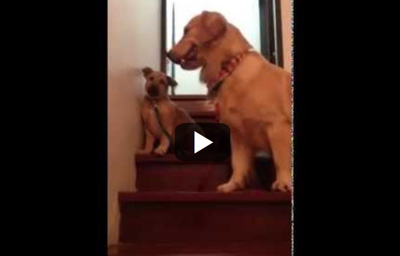 Σκύλος σκάλες κουτάβι