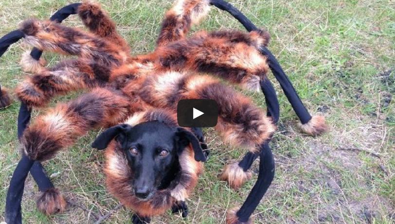 φάρσα σκύλος αράχνη Σκύλος αράχνη