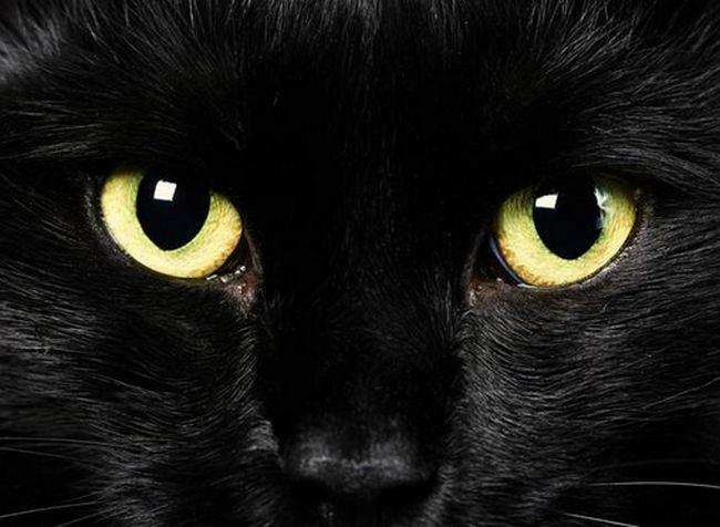 μαύρη γάτα Γάτα