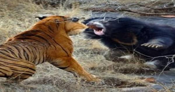 Δείτε τι συμβαίνει όταν μια αρκούδα δέχεται επίθεση από 2 τίγρεις (βίντεο)