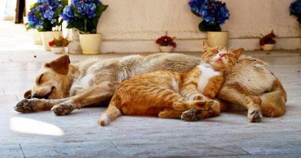 21 γάτες που χρησιμοποιούν τους σκύλους σαν μαξιλάρια!