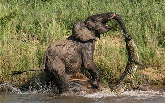 Ένας ελέφαντας δίνει μάχη για τη ζωή του με έναν κροκόδειλο (εικόνες)