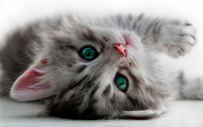 στρες Γάτα