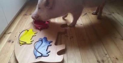 Ένα πανέξυπνο γουρούνι που λύνει παζλ (βίντεο)