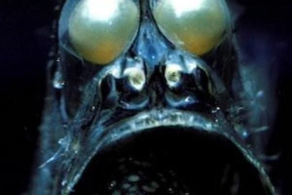 hatchetfish3