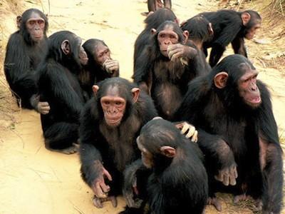 Ακόμη και οι χιμπατζήδες μαθαίνουν ξένες… γλώσσες!