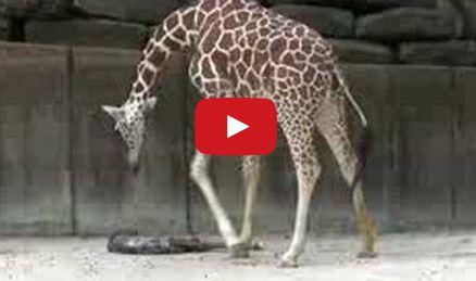 Αυτή η μαμά καμηλοπάρδαλη έκανε το θαύμα της και λίγοι ήταν οι τυχεροί που το είδαν! (βίντεο)