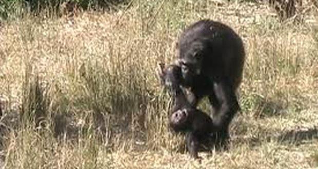 χιμπατζής