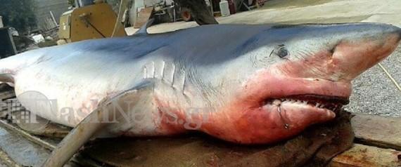 Σαν σε ταινία θρίλερ: Τεράστιος καρχαρίας ξεβράστηκε σε ελληνική παραλία
