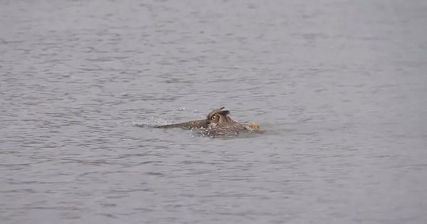 Και όμως οι κουκουβάγιες κολυμπούν! (εικόνες)
