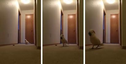 Γνωρίστε τον αγανακτισμένο παπαγάλο (βίντεο)