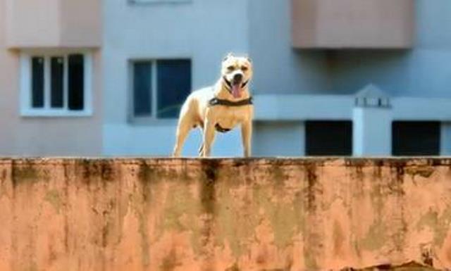 Σκύλος πίτμπουλ Αμέρικαν Σταφορντσάιρ Τεριέ Parkour