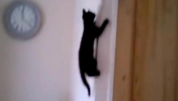 γάτες Spider Cats