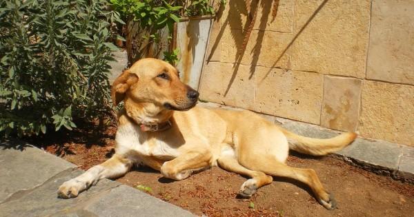 Χάθηκε θηλυκό Σκυλάκι στο Κορωπί