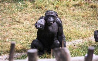 Οι χιμπατζήδες μπορούν να μάθουν ξένες λέξεις