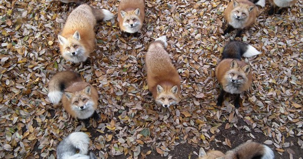 Το αλεπουδοχωριό στην Ιαπωνία ίσως είναι το πιο γλυκό μέρος στον πλανήτη (φωτογραφίες και βίντεο)