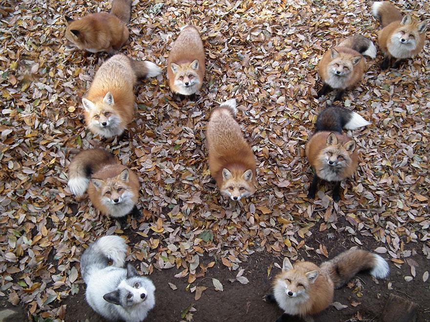 Ιαπωνία Αλεπούδες αλεπού