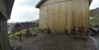 Την πάτησαν! Τα κοτόπουλα νόμιζαν ότι είναι νύχτα κατά τη διάρκεια της έκλειψης (βίντεο)