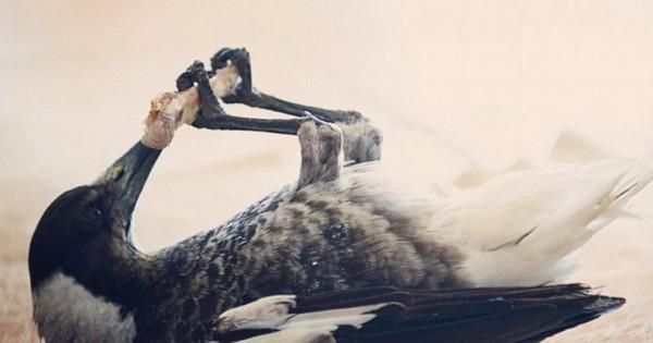 Πένγκουιν: Το περιστέρι που βουρτσίζει δόντια!