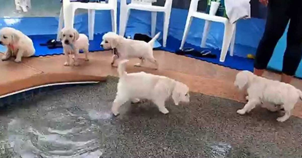 Σκύλος νερό κουτάβια κολύμπι
