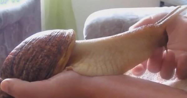 Απίστευτο κι όμως αληθινό: Το τεράστιο σαλιγκάρι που είναι κατοικίδιο!