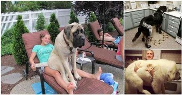 Όταν 25 τεράστιοι σκύλοι νομίζουν πως είναι ακόμα κουτάβια! (εικόνες)