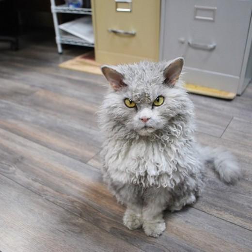 μπούκλες Γάτα Άλμπερτ bitchy resting face