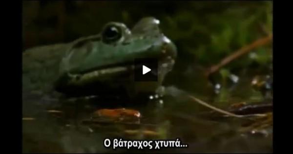 Βίντεο-μάχη: Βάτραχος εναντίον σαλαμάνδρας