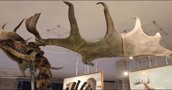 Εντοπίστηκαν οστά από γιγαντιαίο προϊστορικό ελάφι στη Σιβηρία (εικόνες)