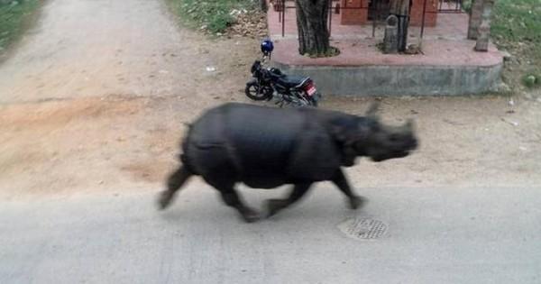 Νεπάλ: Αφηνιασμένος ρινόκερος σπέρνει τον πανικό και σκοτώνει γυναίκα (εικόνες)