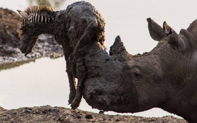 ρινόκερος ζέβρα διάσωση άγρια φύση