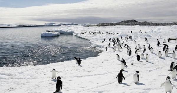 Γιατί οι πιγκουίνοι περπατούν με αυτό το μοναδικό τρόπο; (βίντεο)