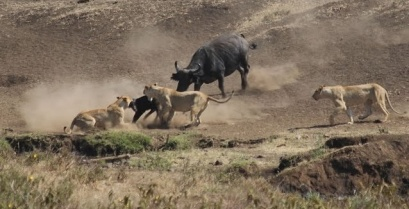 Βούβαλος ήρωας σώζει το μικρό του από αγέλη λιονταριών (βίντεο)