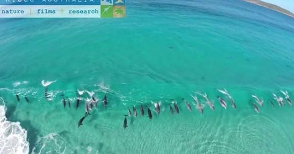 Δελφίνια κάνουν σερφ πάνω στα κύματα (βίντεο)